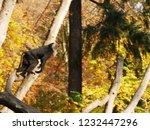 beard ape in german zoo | Shutterstock . vector #1232447296