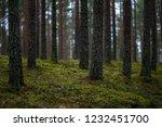 dark autumn foorest with spruce ... | Shutterstock . vector #1232451700