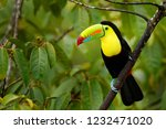 toucan sitting on the branch in ... | Shutterstock . vector #1232471020