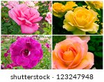 Collage of beautiful roses in a garden. - stock photo