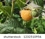 yellow raspberry and the green... | Shutterstock . vector #1232510956