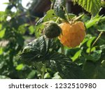 yellow raspberry and the green... | Shutterstock . vector #1232510980