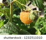 yellow raspberry and the green... | Shutterstock . vector #1232511010