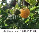 yellow raspberry and the green... | Shutterstock . vector #1232511193