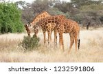 pair of of reticulated giraffes ... | Shutterstock . vector #1232591806