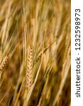 spikes of golden wheat. harvest ... | Shutterstock . vector #1232598973