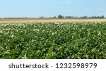 blooming potato field. green... | Shutterstock . vector #1232598979