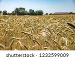 spikes of golden wheat. harvest ... | Shutterstock . vector #1232599009