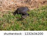 long necked swamp tortoise... | Shutterstock . vector #1232636200