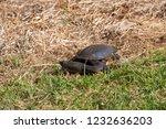 long necked swamp tortoise... | Shutterstock . vector #1232636203