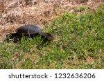 long necked swamp tortoise... | Shutterstock . vector #1232636206