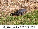 long necked swamp tortoise... | Shutterstock . vector #1232636209