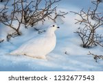 white tailed ptarmigan in... | Shutterstock . vector #1232677543