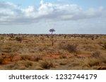 solitary tree landscape in...   Shutterstock . vector #1232744179
