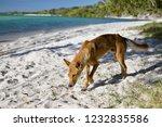 Australian Dingo  Fraser Island