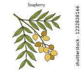 soapberry  sapindus saponaria   ... | Shutterstock .eps vector #1232838166