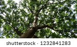 view of a lush treetop. | Shutterstock . vector #1232841283