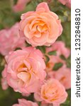 pink rose in the garden in a... | Shutterstock . vector #1232848810