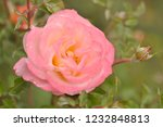 pink rose in the garden in a... | Shutterstock . vector #1232848813