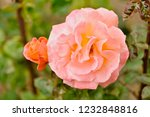 pink rose in the garden in a... | Shutterstock . vector #1232848816