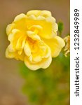 yellow rose in the garden in a... | Shutterstock . vector #1232849989