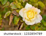yellowish brown rose in the... | Shutterstock . vector #1232854789