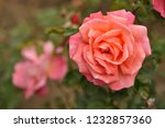 red and pink rose in the garden ... | Shutterstock . vector #1232857360