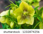 Yellow Greened Macrocarp...