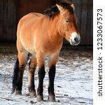 przewalski's horse or... | Shutterstock . vector #1233067573