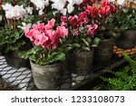 Variety Of Potted Cyclamen...