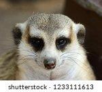 hand feeding beautiful meerkat  ...   Shutterstock . vector #1233111613
