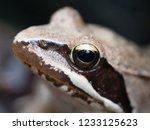 Common Frog Portrait
