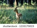 impala  aepyceros melampus  ...   Shutterstock . vector #1233170023