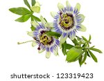 Passion Flower  Passiflora ...
