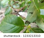 a flock of young jewel beetle...   Shutterstock . vector #1233213310