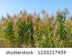 beautiful autumn reeds  scenery ...   Shutterstock . vector #1233217459