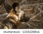 portrait of african wild dog in ... | Shutterstock . vector #1233220816