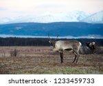 reindeer in its natural... | Shutterstock . vector #1233459733