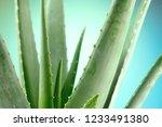 aloe vera closeup. aloevera... | Shutterstock . vector #1233491380