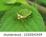 nezara viridula  green shield... | Shutterstock . vector #1233541939