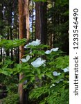 White Dogwood Flowers With Pin...
