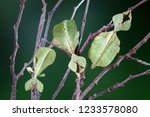 leaf insect  phyllium... | Shutterstock . vector #1233578080