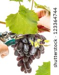 Hand gathering ripe dark grapes. Isolated on white background - stock photo
