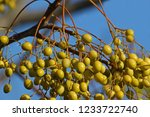 indian bead tree fruits or... | Shutterstock . vector #1233722740