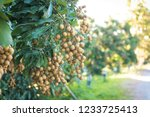 longan orchards   tropical... | Shutterstock . vector #1233725413