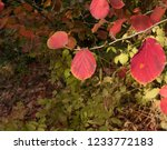 autumn leaves of a witch hazel...   Shutterstock . vector #1233772183