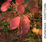 autumn leaves of a witch hazel...   Shutterstock . vector #1233772186