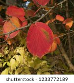 autumn leaves of a witch hazel...   Shutterstock . vector #1233772189
