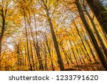 beech forest in autumn   upward ... | Shutterstock . vector #1233791620