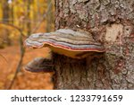 colorful polypore growing on a... | Shutterstock . vector #1233791659